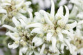 Blooming Edelweiss Flower Royalty Free Stock Photo