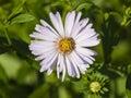 Blooming European Michaelmas D...