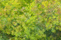 Blooming fennel in a garden Stock Photography