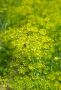 Blooming fennel in a garden Royalty Free Stock Images