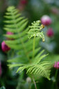 Blooming fern - may 2016 Royalty Free Stock Photo