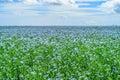 Blooming flax field