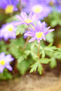 A blooming flower anemone blanda blue shades macro photograph Royalty Free Stock Photography