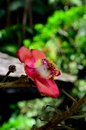 Blooming flower of cannonball tree a red purple and yellow a the is native to the tropical forests northeastern Stock Photo