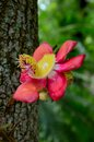 Blooming flower of cannonball tree a red purple and yellow a the is native to the tropical forests northeastern Stock Photography