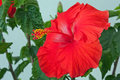 Blooming Flower on a Hibiscus Tree Royalty Free Stock Images