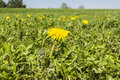 Blooming flower taraxacum officinale common dandelion dandelion in the meadow Stock Image