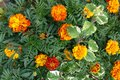 Blooming Flowering Flowers Background Orange Yellow And Green Royalty Free Stock Photo
