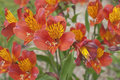 Blooming flowers alstroemeria in english garden Royalty Free Stock Image