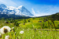 Blooming flowers with beautiful swiss landscape dandelion on the background of alps mountains covered snow and crossing Royalty Free Stock Images