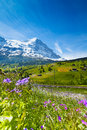 Blooming flowers with beautiful swiss landscape violet on the background of alps mountains covered snow and crossing railway Royalty Free Stock Image