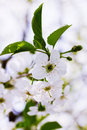 Blooming flowers on cherry beautiful tree branch Royalty Free Stock Photography