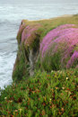 Blooming Flowers on a Cliff at California Coast Royalty Free Stock Photo