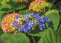 Blooming flowers Hortensia Hydrangea Macrophylla. Concept Flowers for home and garten Royalty Free Stock Photo