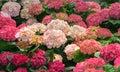 Blooming flowers Hortensia Hydrangea Macrophylla Royalty Free Stock Photo