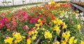 Blooming Flowers For Sale In T...