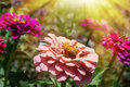 Blooming flowers of zinnia in yellow sun rays natural background Royalty Free Stock Image