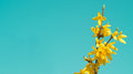 Blooming Forsythia, Spring background with yellow flowers tree branches Royalty Free Stock Photo