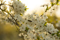 Blooming fruit tree branch in spring blossoming with white flowers on blurred background of early morning sky and springtime Stock Images