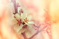 Blooming fruit tree - flowering Royalty Free Stock Photos