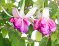 Blooming fuchsia flower isolated Royalty Free Stock Photo