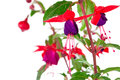 Blooming fuchsia fuschia hybrida isolated on a white background Royalty Free Stock Photography