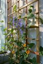 Blooming garden on the balcony. Violet flowers of campanula persicifolia and orange flowers of thunbergia on wooden trellis