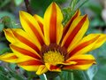 Blooming Gazania `Big Kiss Yellow Flame` Hybrid, `Tiger stripes`. Yellow and red striped petals. Royalty Free Stock Photo