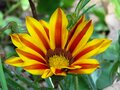 Blooming Gazania `Big Kiss Yellow Flame` Hybrid, `Tiger stripes`. Yellow and red striped petals. Flowering summer garden flower. Royalty Free Stock Photo
