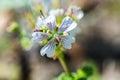 Blooming Geranium Renardi
