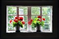 Blooming geraniums in window