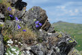 Blooming harebell in northern ural mountains russia campanula rotundifolia a rock on the third bugor mount Stock Image
