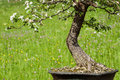 Blooming hawthorn as bonsai Royalty Free Stock Image