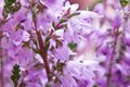 Blooming heather violet blossoming macro shallow dof Royalty Free Stock Photo