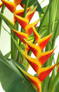 Blooming heliconia flowers