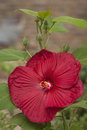 Blooming hibiscus red flower in garden Stock Photos