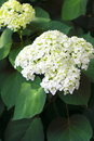 Blooming hortensia white on green leaves background Stock Photo