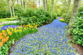 Blooming hyacinth flowers in a garden river of grape muscari among trees and tulips at an outdoor park at springtime Royalty Free Stock Photography