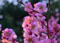 Blooming Japanese apricot, spring in Kyoto Japan. Royalty Free Stock Photo