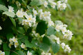 Blooming jasmin bush with tender white flowers Stock Photo