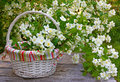 Blooming jasmine in a wicker basket on old wooden wall beautiful flowers Royalty Free Stock Photo