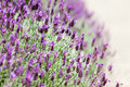 Blooming lavender beautiful bushes of shallow dof Royalty Free Stock Photography
