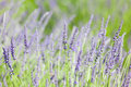 Blooming lavender close up of beautiful Royalty Free Stock Photography