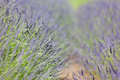 Blooming lavender close up view of beautiful Royalty Free Stock Photography