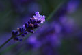 Blooming lavender closeup Royalty Free Stock Photo