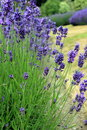 Blooming lavender garden Royalty Free Stock Images