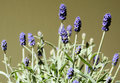 Blooming lavender in the garden Royalty Free Stock Photo