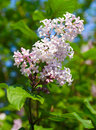 Blooming lilac on blue sky Royalty Free Stock Image