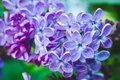 Blooming lilac in the garden
