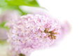 Blooming lilac selective focus with green leaves Royalty Free Stock Photos